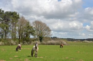 Junner Koeland met IJslandse paardjes