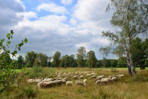 September Schaapskudde in het Eerder Achterbroek